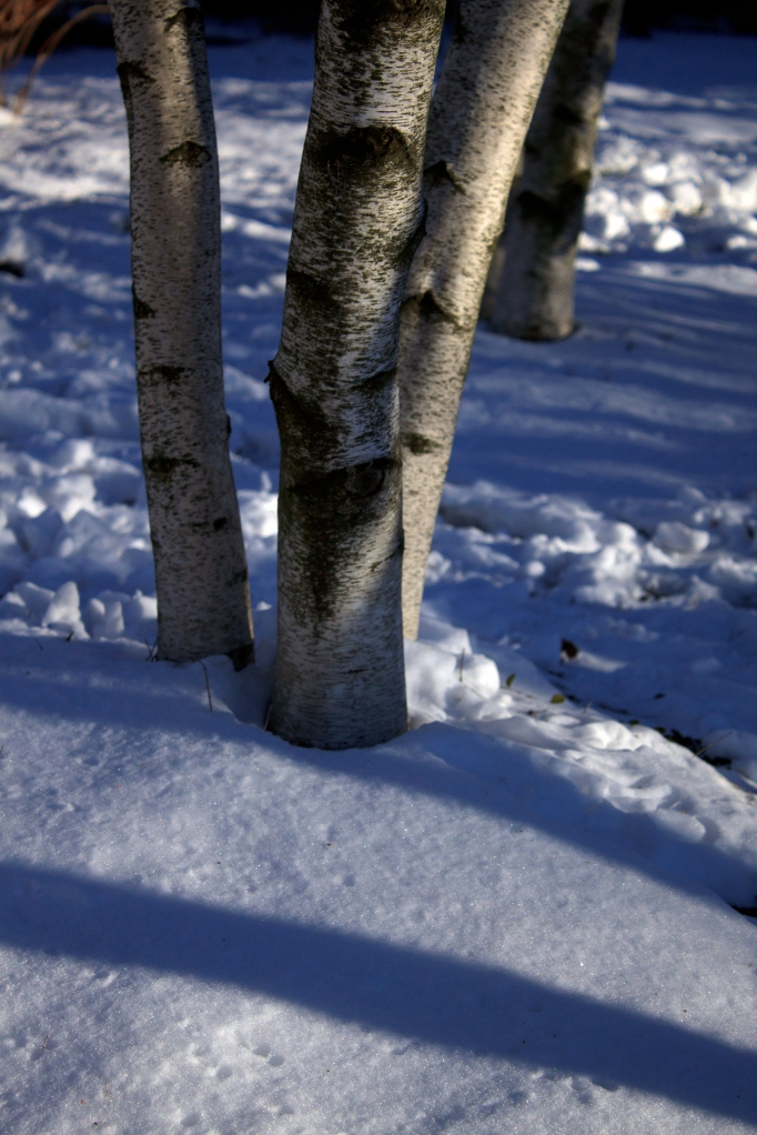 Gray Birch Shadows