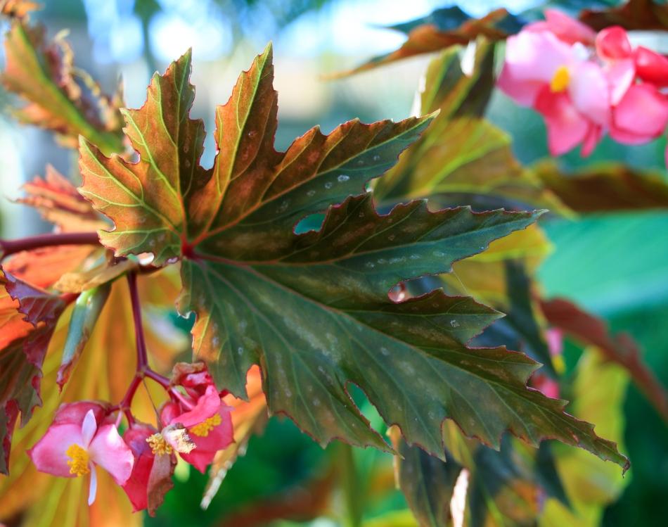 Lana Angelwing Begonia