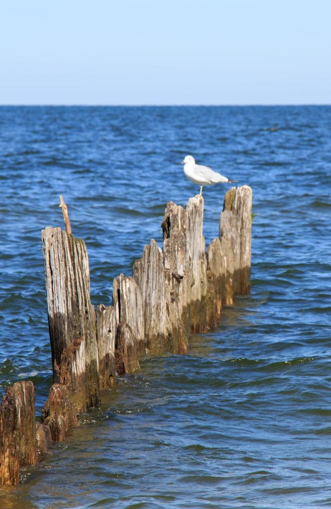 Seagull Poseur!